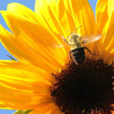 bb-sunflower