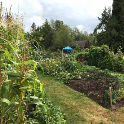 garden.corn_.900