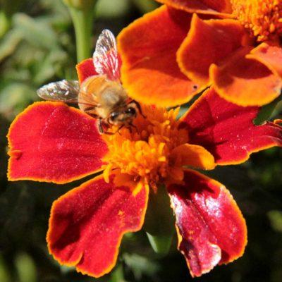 honeybee-marigold