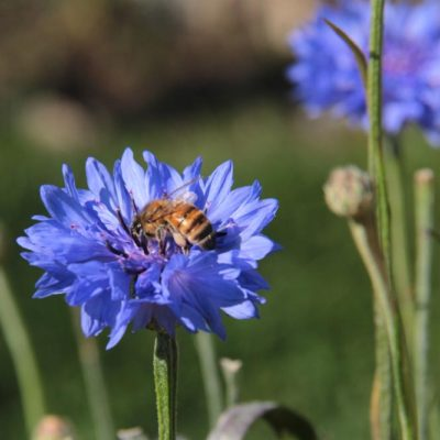 honeybee-on-cornflower