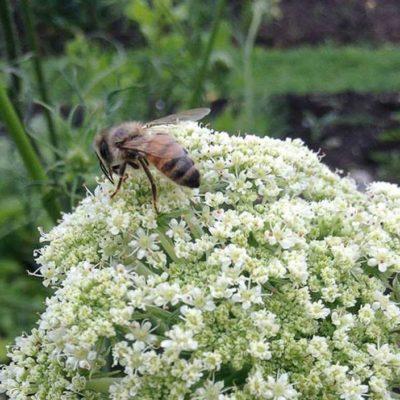 honeybee-steve