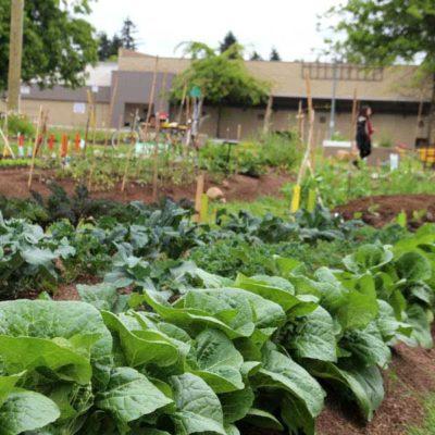 garden-LUSH-BOK-CHOY