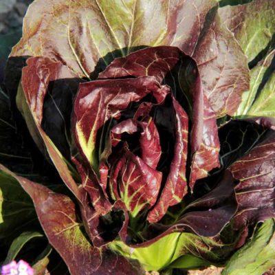 red-lettuce